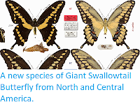 https://sciencythoughts.blogspot.com/2015/01/a-new-species-of-giant-swallowtail.html