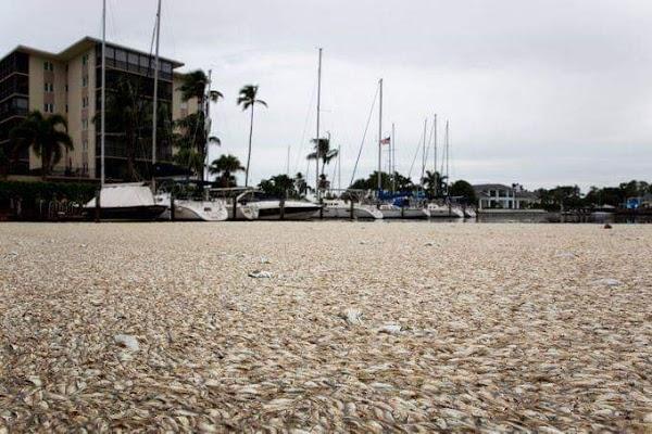 ( VIDEO ) Cientos de Peces Flotando En Las Costas De Florida.
