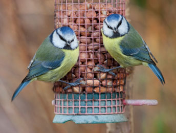 British Blue Tits Already Wise To Feeders