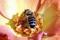Veninul-de-albine-compozitie-indicatii-terapeutice-tratamente