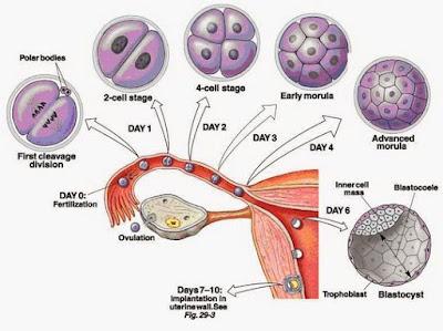 Proses Pembuahan pada Manusia (Fertilisasi)