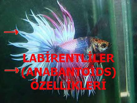 LABİRENTLİLER (ANABANTOİDS) ÖZELLİKLERİ