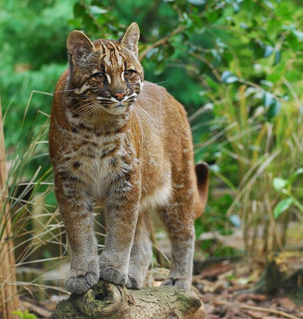 13 giống mèo rừng đáng yêu có thể bạn chưa biết tới