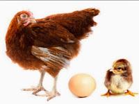Tips Sukses Beternak Ayam Petelur (Ayam Ras ) 100% Berhasil