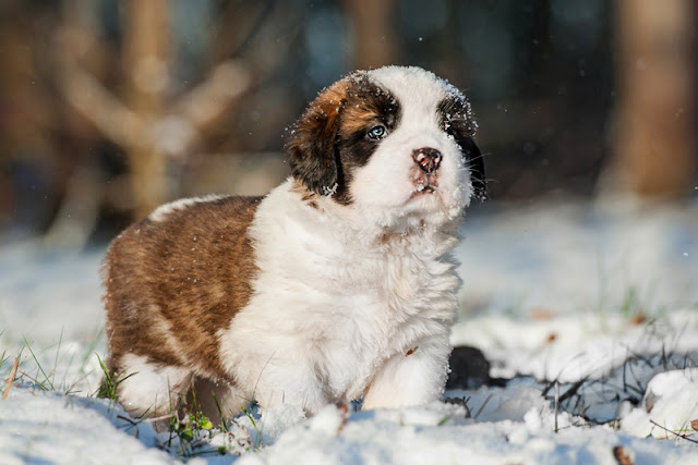 The secret to house training puppies - like this St Bernard - is to prevent mistakes and reward them for urinating and pooping outside
