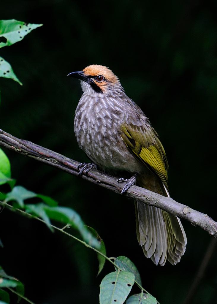 Gambar Burung Cucak Rowo Yang Indah Dan Mempesona