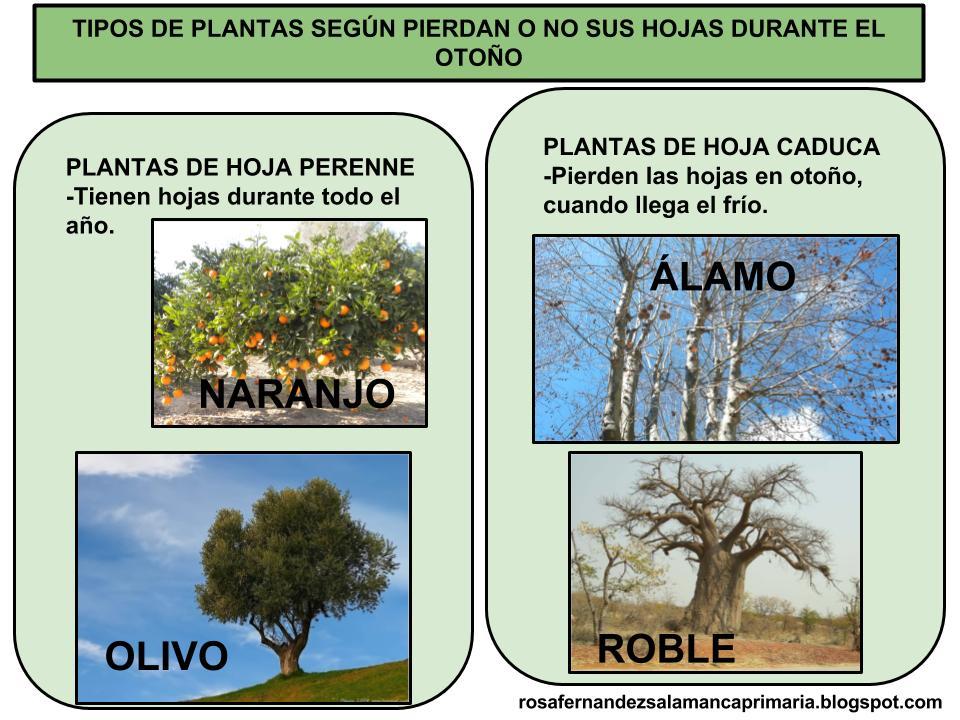 Maestra de primaria las plantas partes de las plantas for Arboles frutales de hoja perenne