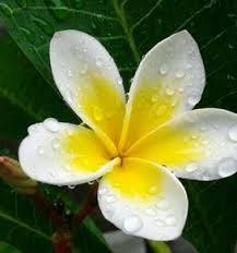 http://manfaatnyasehat.blogspot.com/2016/05/manfaat-dan-khasiat-bunga-kamboja.html