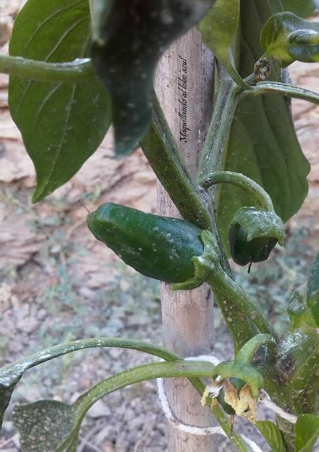 Cultivo ecológico del pimiento verde