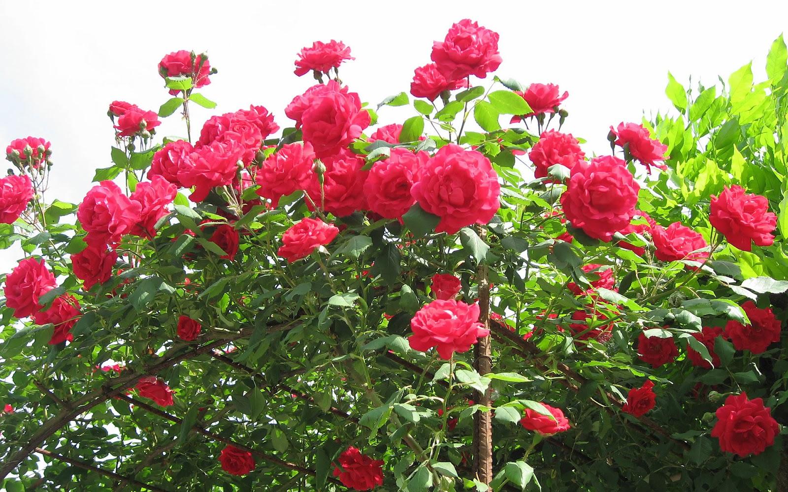 Red Rose Flower Garden Wallpaper|http://refreshrose ...