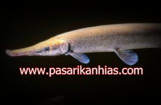 Ikan hias air tawar buaya