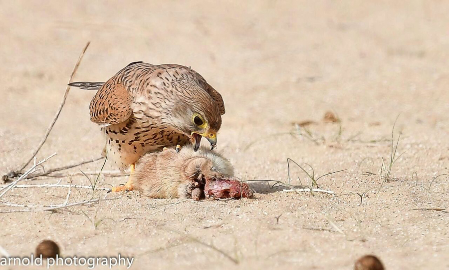 Birds of prey eating Fat Sand Rats near Jubail – Records by Arnold Uy