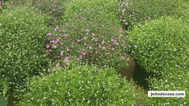mosquitinhos- ou- gipsofila-, flores- delicadas