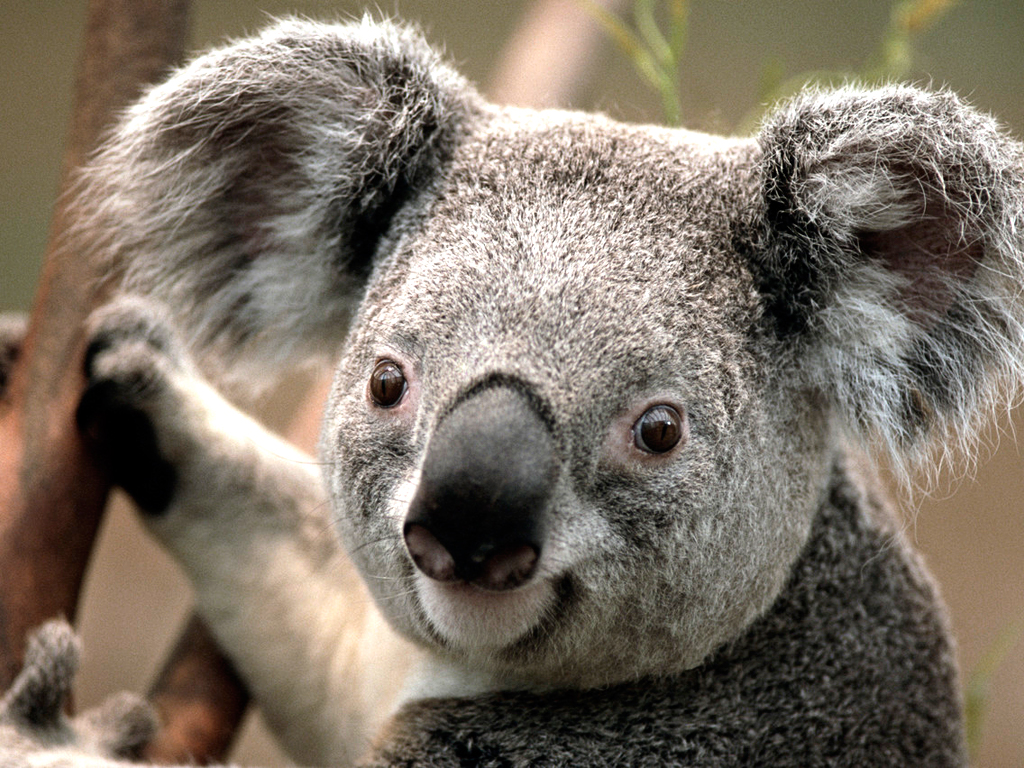 Koala Soup