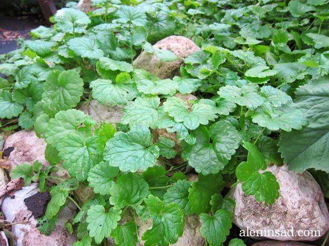 будра плющевидная, glechoma hederacea, почвопокровные растения, алёнин сад, мульча