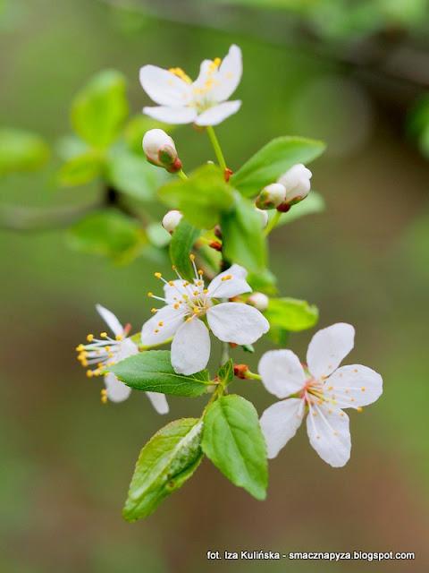 las bemowski, drzewo owocowe, sliwa, prosto z lasu, spacer, kwiaty, kwiatki, wiosna
