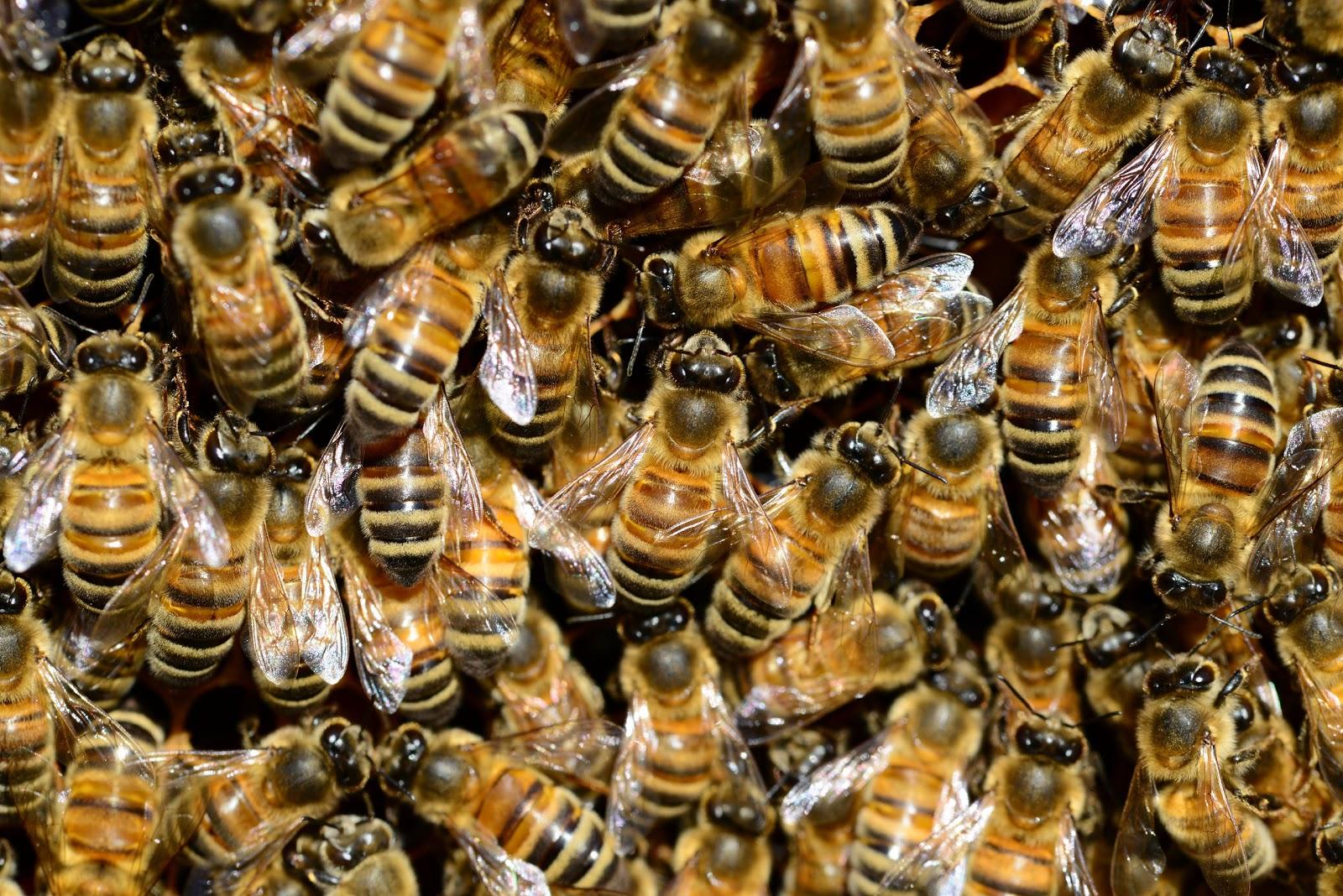 巣にびっしり集まった蜜蜂の群れ