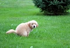 como enseñar al cachorro a ir al baño