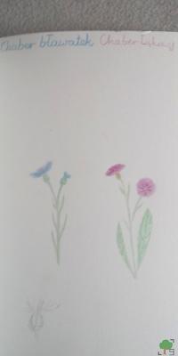 chaber bławatek i łąkowy, botanika, zielarstwo, zielnik, rysunek, rysunki, róż, błękit