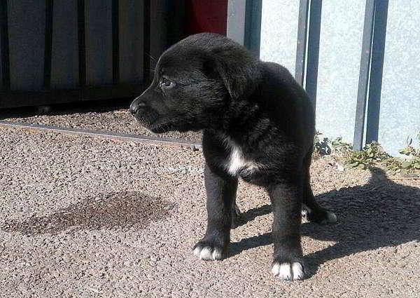 cachorro cruce labrador