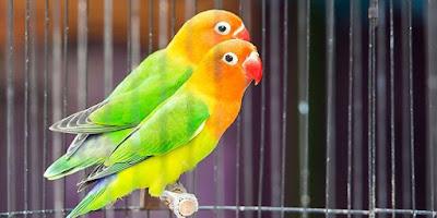 Ciri Ciri Fisik Burung Lovebird Anakan Betina Paling Akurat Dan Terlengkap