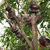 Cara Mencangkok Pohon Mangga Agar Cepat Tumbuh Akar
