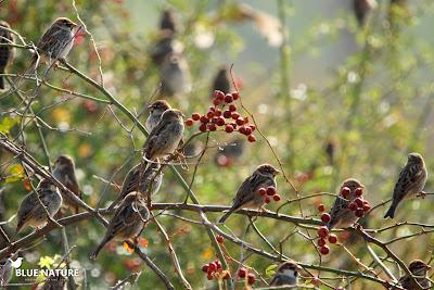 Bando de gorrión moruno (Passer hispaniolensis) machos y hembras juntos en este bando y entre escaramujos.