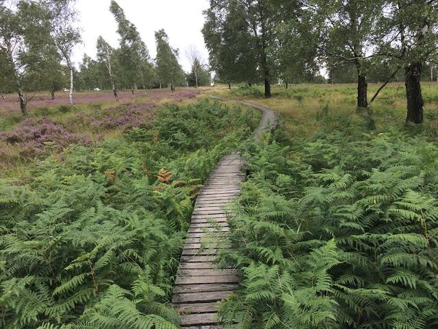 Ein Steg führt über eine Heidelandschaft ins hohe Venn