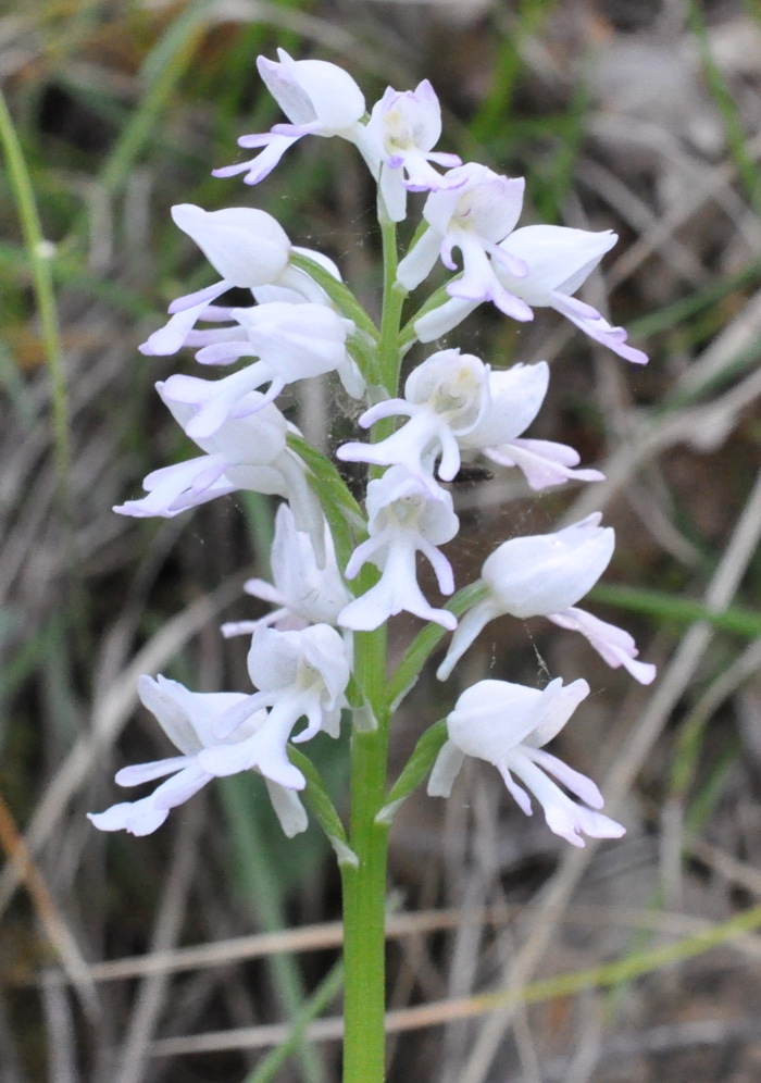 Orchis militaire blanche