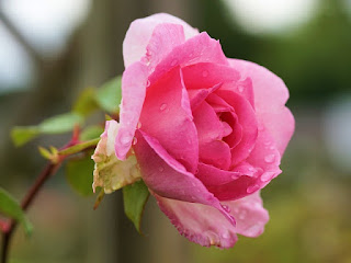 Bunga mawar paling harum