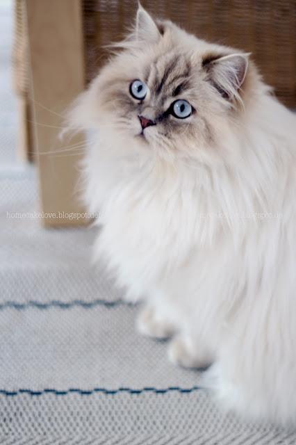 Teppich neu von benuta, Teppich online bestellen, Teppich Inspiration, welcher Teppich für Esszimmer, Outdoorteppich, Katze Britisch Kurzhaar