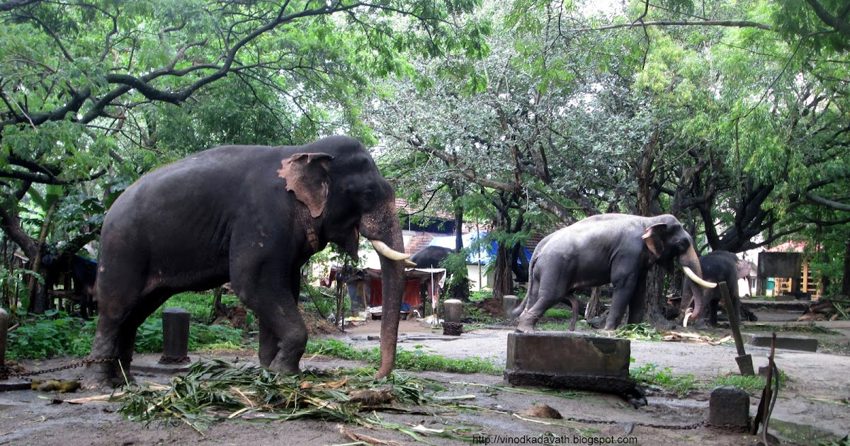 Elephant Sanctuary at Punnathur Kotta, Kerala