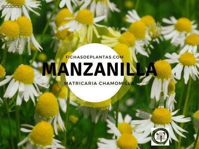 Manzanilla común planta comestible para mejorar la salud en casa