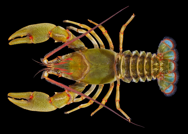 Crayfish species Barbicambarus simmonsi