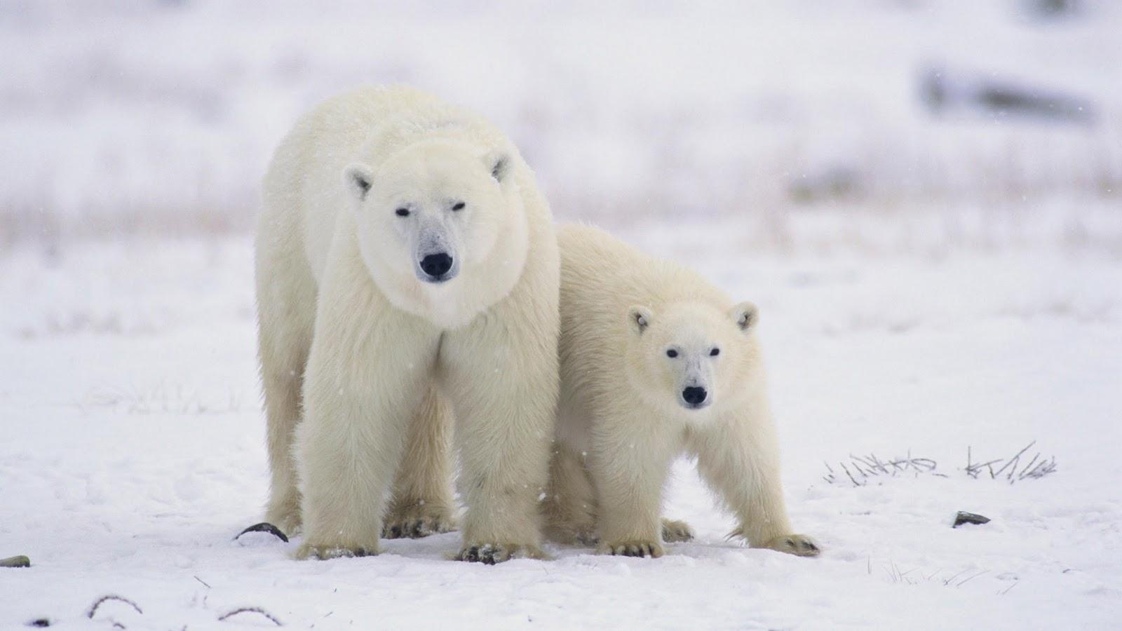 Polar Bear Wallpapers