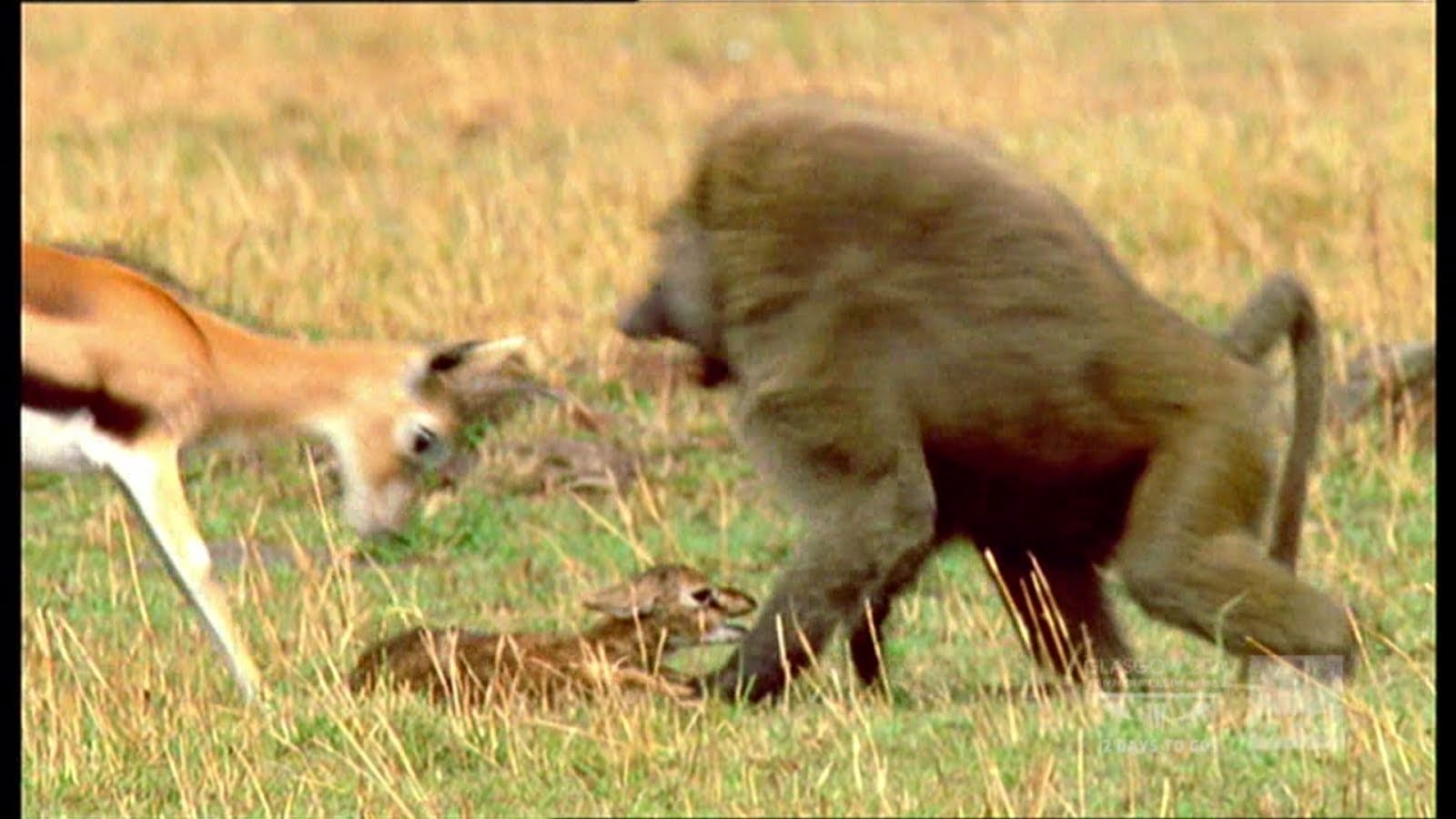 But Mother Gazelle Successfully Caught And  Drove The Baboon Away