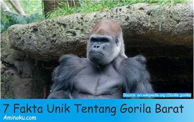 Fakta unik gorila barat