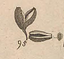 dibujo del fruto de la quina