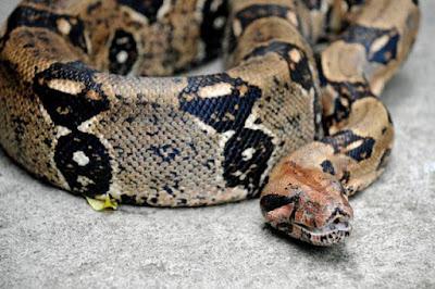 Snake Wraps Around Woman's Neck