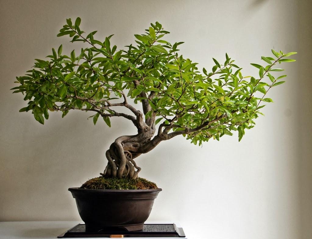 Un grenadier nana histoires de bonsa - Comment tailler un bonsai ...