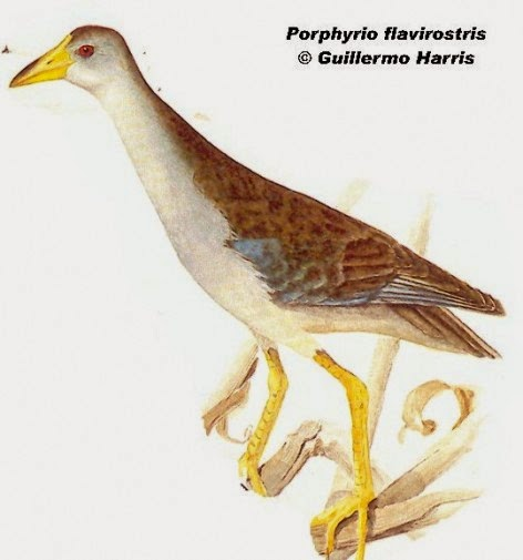 pollona celeste Porphyrio flavirostris