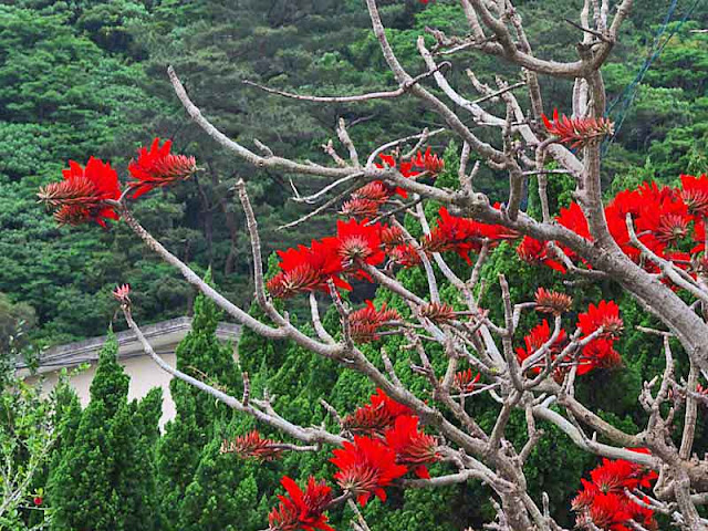 Indian Coral Bean tree, Deigo