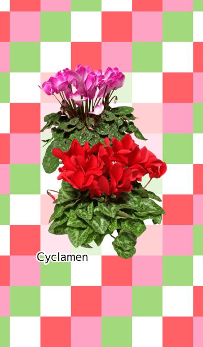 A lot of cyclamen