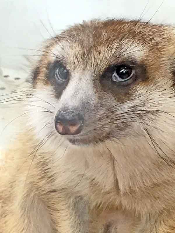 meerkat, captive, pet store, glass cage