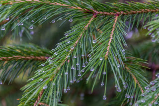 Trees are wet with last night's rain and the water droplets sit on them like pearls.