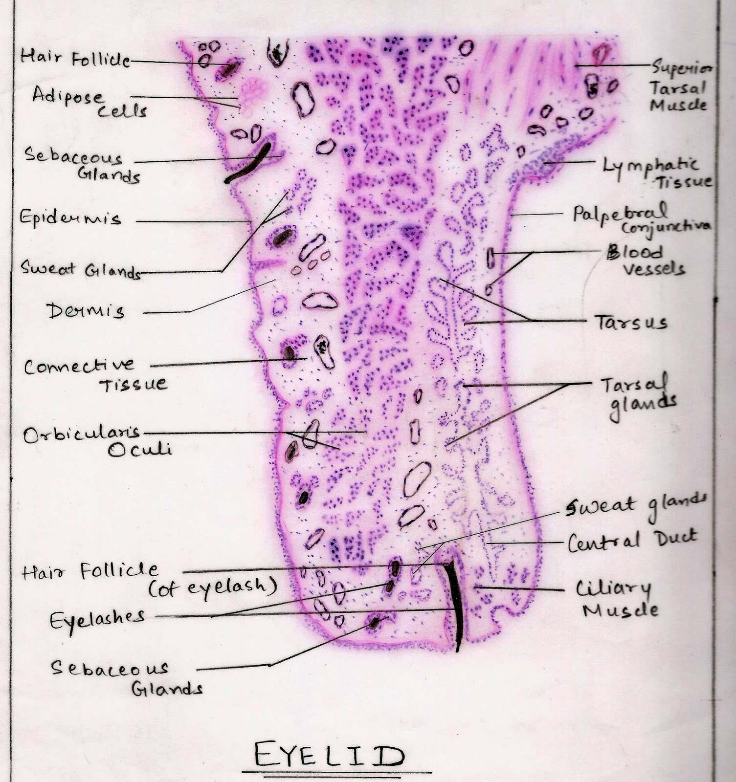 Histological Diagram Of Eyelid - House Wiring Diagram Symbols •