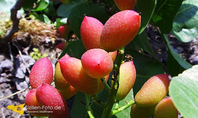 Pistazienfrucht am Baum im Sommer