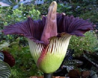 Klasifikasi bunga bangkai atau Kibut (Amorphophallus titanum) - berbagaireviews.com