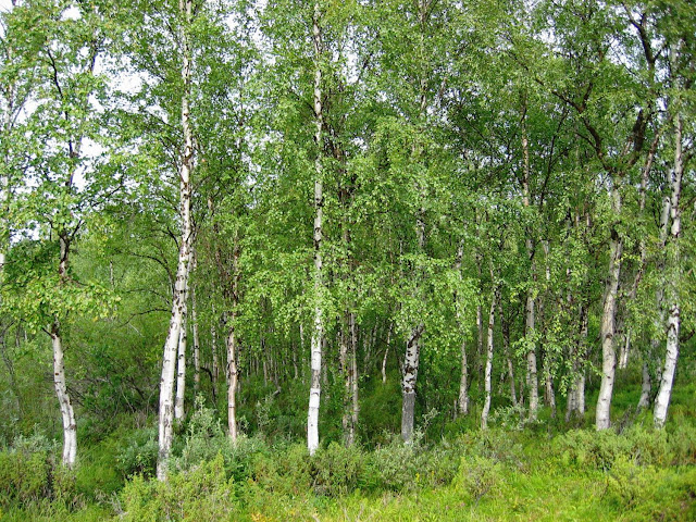 The evolutionary story of birch, told through 80 genomes