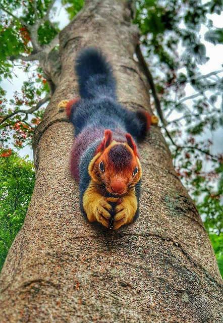 Οι σπάνιοι πολύχρωμοι σκίουροι Μαλαμπάρ